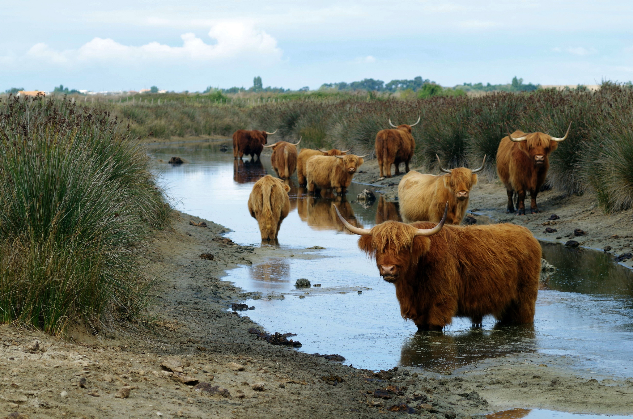 Highland cattle in thalassotherapy